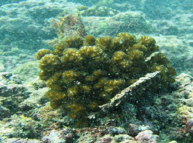 Cabeza de coral fijada a matriz arrecifal