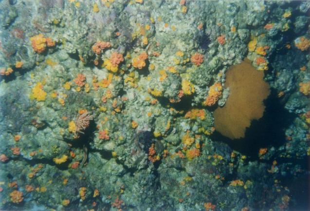 Coral de copa naranja
